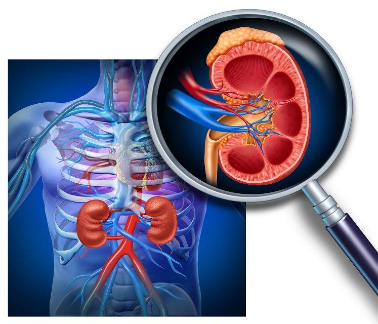 Вид артерий и вен в почках