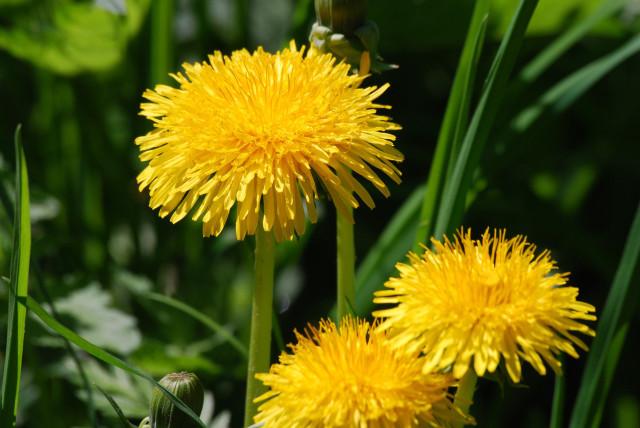 Используют измельченные листья, корневище и цветения в свежесобранном и сушеном виде