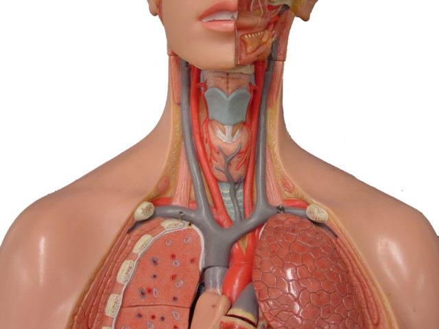 В составе ствола находятся три крупных артерии: позвоночная, подключичная и сонная